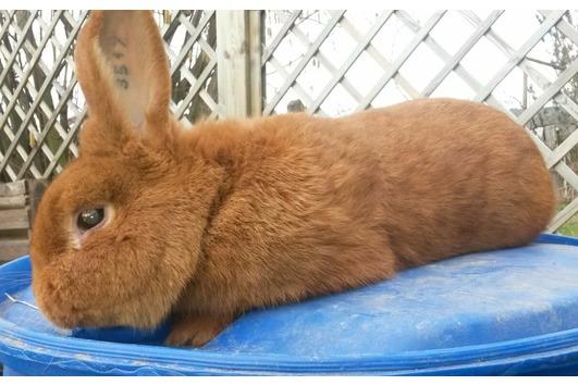 Kaninchen versch. Rassen