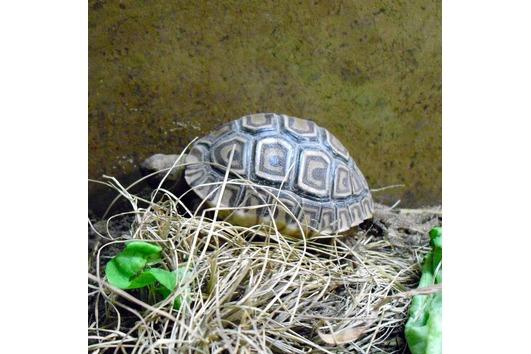 Pantherschildkröte Geochelone pardalis