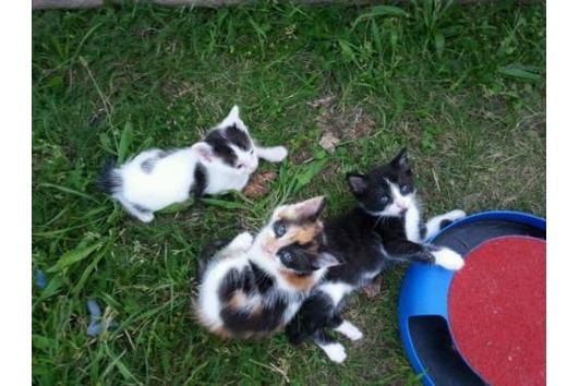 Dreifarbiges katzenkind abzugeben