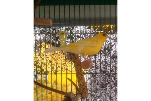 Drei Kanarienvögel in