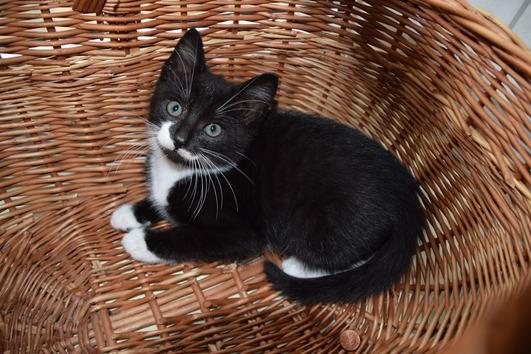 Schwarz weiße Katzenkinder