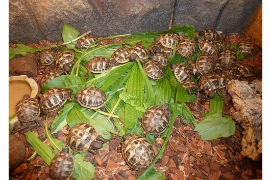 Griechische Landschildkröten (THB) -