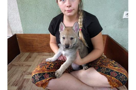 Tschechoslowakische Wolfhunde- Welpen (