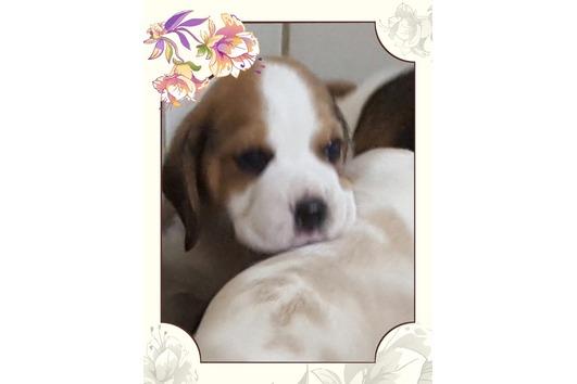 Aktuelle Beagle Welpen...