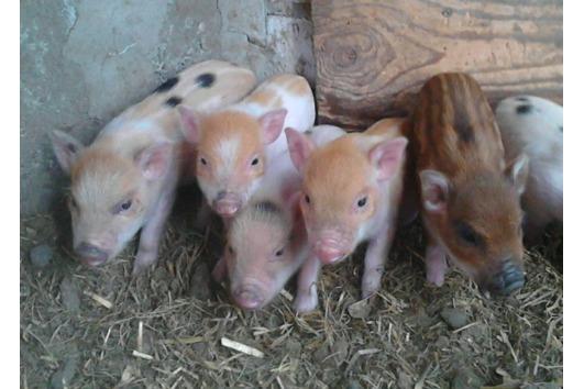 Minischweine klein bleibend,