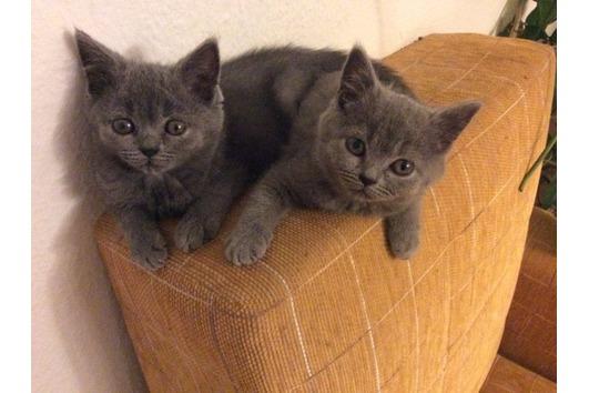 Traumhafte blaue Kitten