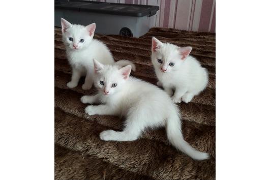 Türkisch-Mix Kitten