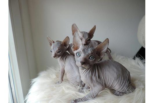 Sphynx Kitten, katzenbabys