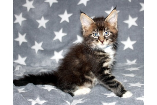 Wunderschöne Kitten abzugeben