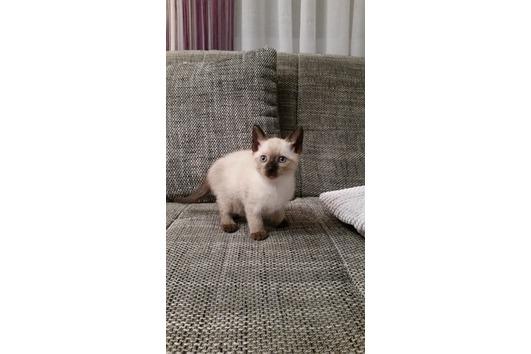 Wunderschönes Siam Kätzchen