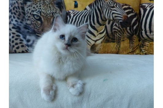 Heilige Birma - Kitten