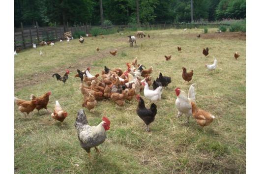 Legereife Hühner verschiedene