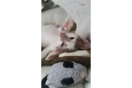 Bezaubernde OKH Kitten
