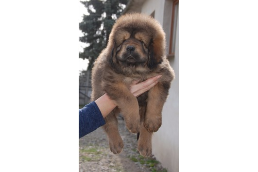 Beautiful Tibetan Mastiff