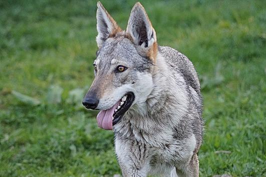 Tschechoslowakischer Wolfshund sucht