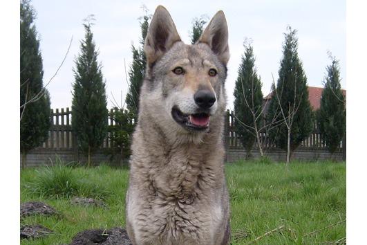 TWH Tschechoslowakische Wolfhunde-
