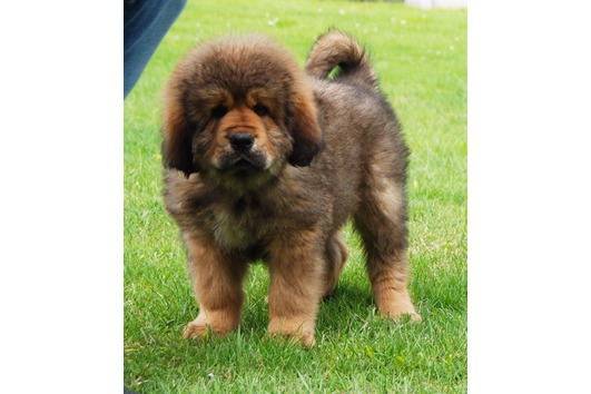 Tibetan Mastiff - beautiful