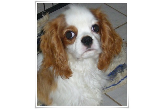 Traumhafte Cavalier King