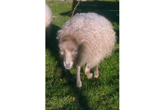 Quessant Schafe
