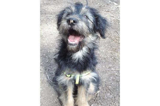 TibetTerrier-SchäferhundMix geb.: