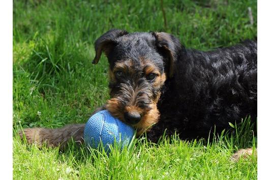 Airedale Terrier - Welpen/