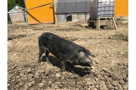 Junge Wollschwein Zucht
