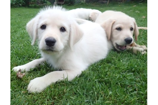 Unsere Labradoodle F1b -