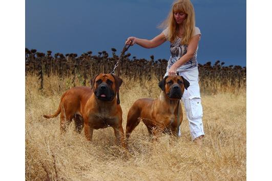 Boerboels puppies
