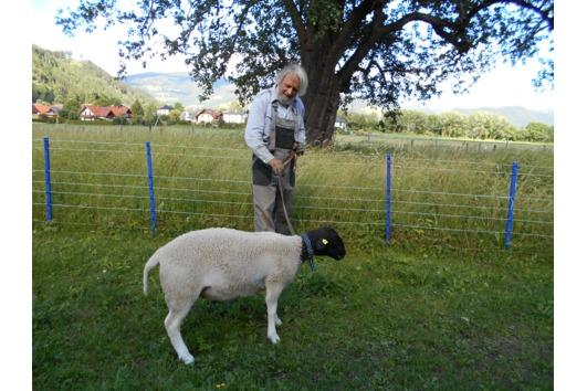Schafe Dorper Lämmer-