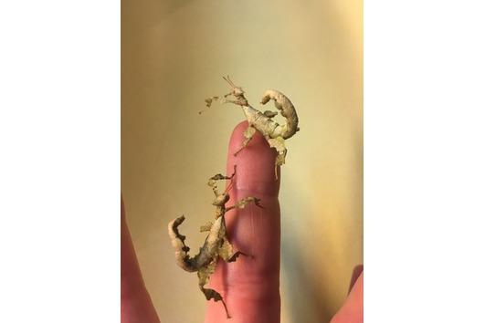 Australische Gespenstschrecke, super