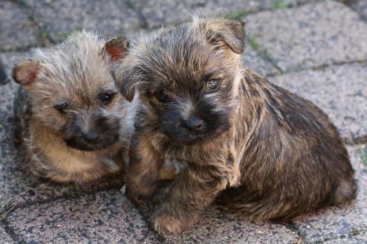 Wunderschöne Cairn-Terrier-