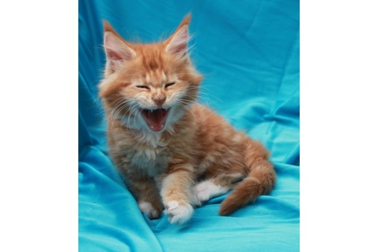 Rote Maine Coon
