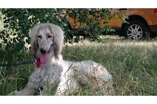 Afghanischer Windhund sucht