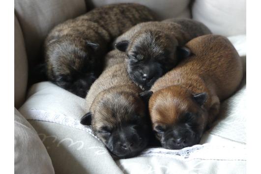 Cairn Terrier Welpen -