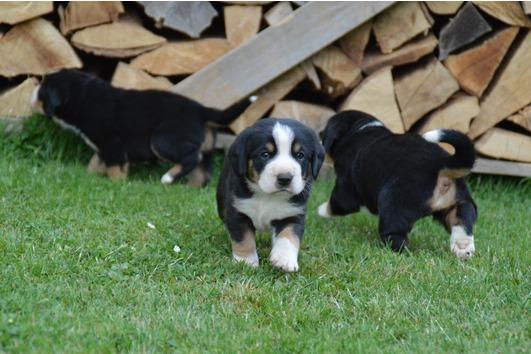 Entlebucher Sennenhund Welpen (