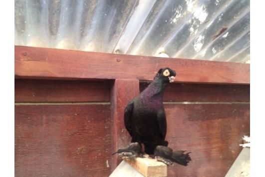 Versch. Usbekische Tauben