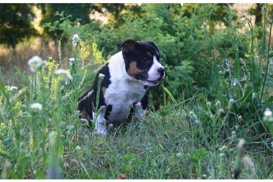 American Bully poclet