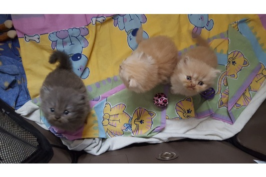 Süße Perserbabys
