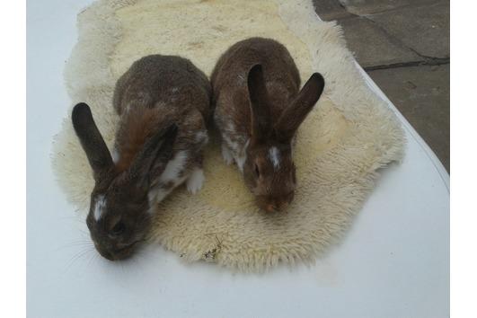 Kaninchen, Hase, Scheckenkaninchen,