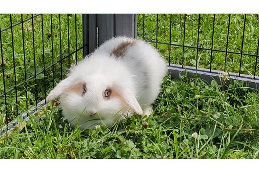 Teddywidder Kaninchen Jungtiere
