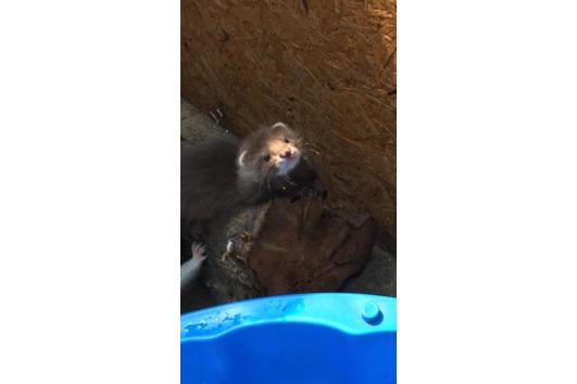 Frettchen Welpen hlh