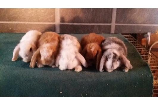 Junge Zwergwidder -Kaninchen