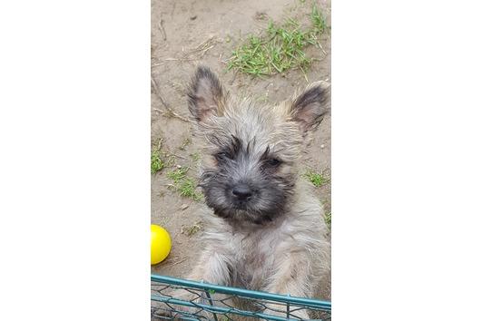 Cairn Terrier vom