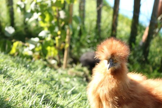 Bruteier reinrassiger Zwergseidenhühner
