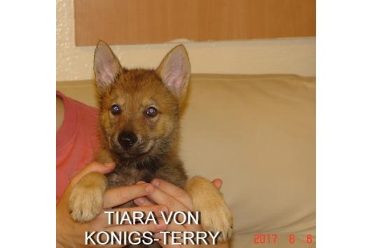 Tschechoslowakishe wolfshunde