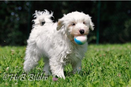 Knuffiger Tibet Terrier