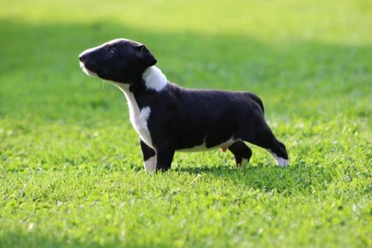 Miniatur Bullterrier Welpe