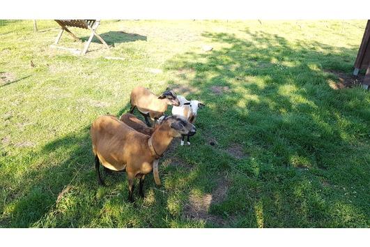 Schafe Barbardos - Kamerun