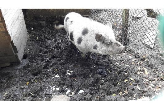 Minischweine Zuchtpaar