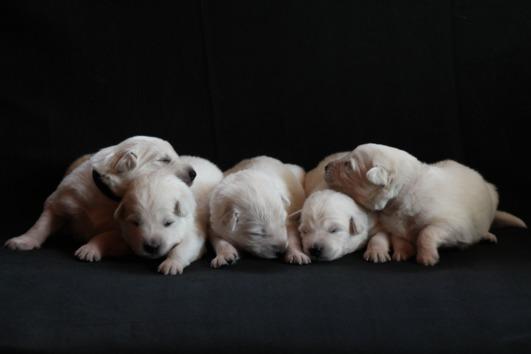 Weißer Schweizer Schäferhunde